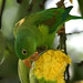 Orange-chinned Parakeet - Photo (c) David Cook, some rights reserved (CC BY-NC)