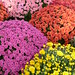Colorful mums by altopower