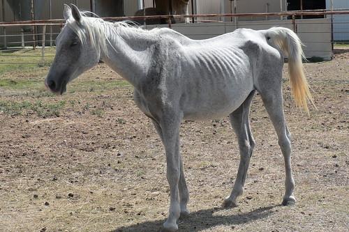 starving white horse