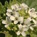 Small photo of Alliaria petiolata GARLIC MUSTARD