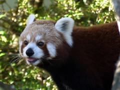 raccoon(0.0), animal(1.0), red panda(1.0), mammal(1.0), fauna(1.0), whiskers(1.0), procyonidae(1.0), wildlife(1.0),