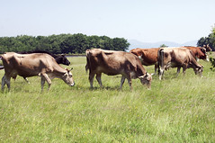 крави от био ферма Чемерник
