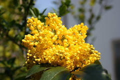 blossom(0.0), evergreen(0.0), shrub(0.0), pollen(0.0), tree(0.0), fruit(0.0), food(0.0), flower(1.0), leaf(1.0), yellow(1.0), plant(1.0), mimosa(1.0), macro photography(1.0), wildflower(1.0), flora(1.0),