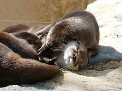 Farniente au soleil, Loutres - Otters