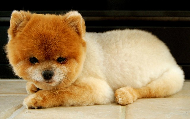 Teddy Bear Pomeranian Cut http://www.flickr.com/photos/briansphotopage/2516119417/