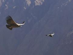 animal, bird of prey, wing, vulture, bird, flight, condor,