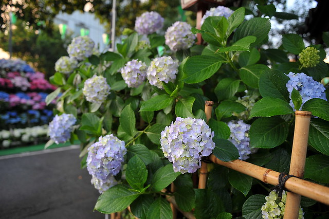 Early morning hydrangeas