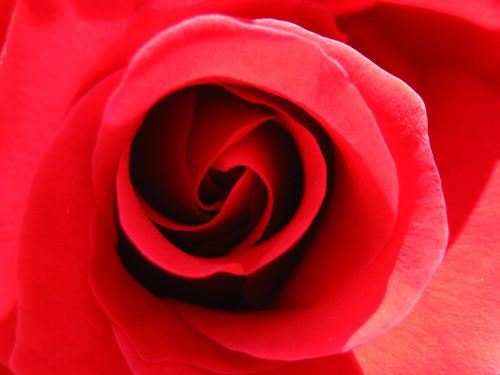 rosa rosae #7
