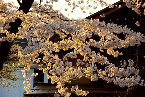 flowers sunset flores japan atardecer shrine cherryblossom sakura nippon shinto takayama nihon japó posta hida vespre santuario flors chubu japón branques cirerers shintoism 神道 神 高山市 santuari cerezos supershot aplusphoto wonderfulworldofflowers hidagokokujinja