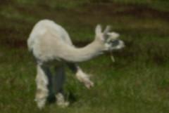 alpaca(0.0), animal(1.0), mammal(1.0), llama(1.0), grazing(1.0), fauna(1.0), guanaco(1.0), pasture(1.0),