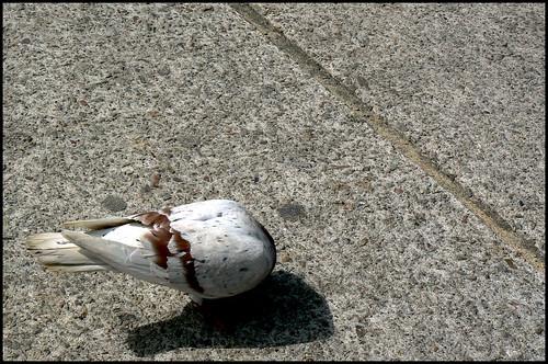 Headless Pigeon.