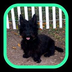 dog breed, animal, dog, pet, mammal, vulnerable native breeds, cairn terrier, affenpinscher, scottish terrier, terrier,