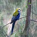 Pale-headed Rosella by petefeats
