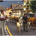 Cattle procession at Brienz, Switzerland - 1994 by sjb4photos