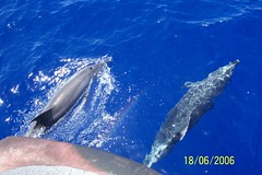 grey whale(0.0), humpback whale(0.0), animal(1.0), marine mammal(1.0), common bottlenose dolphin(1.0), marine biology(1.0), dolphin(1.0), striped dolphin(1.0), spinner dolphin(1.0), stenella(1.0), rough-toothed dolphin(1.0), tucuxi(1.0),