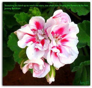 Backyard Geranium
