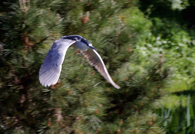 Night heron in flight - photo#20