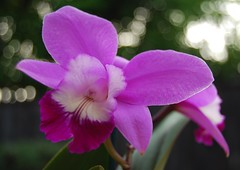 Lc. Exotic Smile 'Spring Sensation'