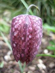 flower, leaf, macro photography, flora, fritillaria meleagris, plant stem, petal,