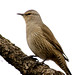 Brown Treecreeper - Photo (c) David Cook, some rights reserved (CC BY-NC)