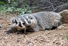 American Badger - Photo (c) Erin and Lance Willett, some rights reserved (CC BY-NC-ND)