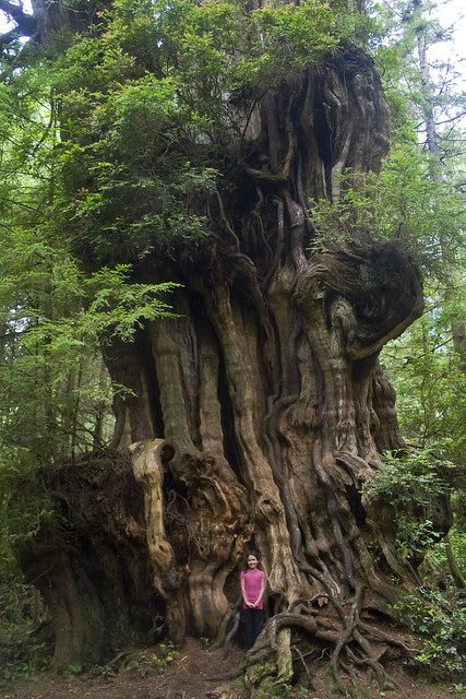 Big Cedar Tree Tiny Girl Olympic National Park Flickr
