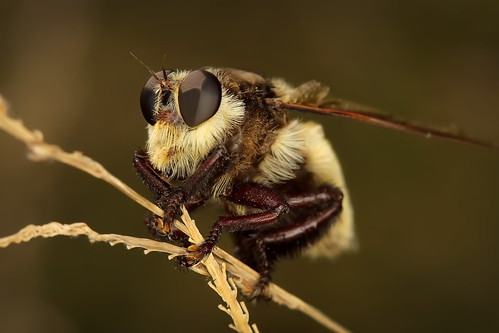 macro wasp bee robberfly ringflash roundrocktexas canonef100mmf28usmmacro brushycreek canoneos30d buzznbugz excapture excapturemacro motleypixel royniswanger southernbeekillermallophora