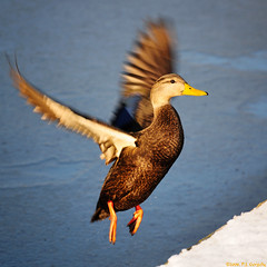 Incoming Black Duck (20080106-144542-PJG)