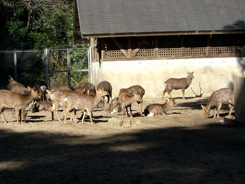 鹿島神宮の鹿/Deer in Kashima Jingu Shrine