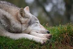 Duma, siesta