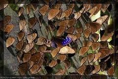 紫斑蝶群。(來源:Loren Xue)