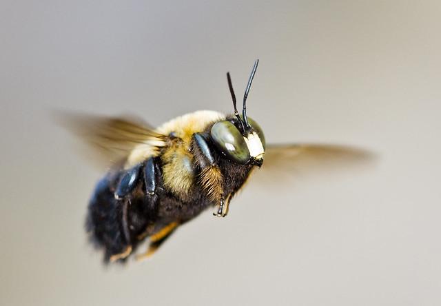 Eastern Carpenter Bee | Flickr - Photo Sharing!