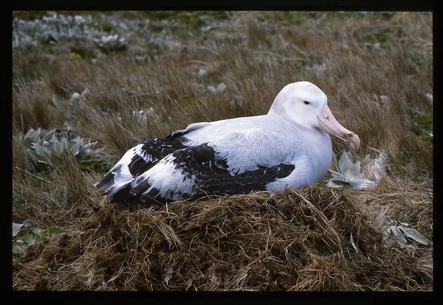 Wandering Albatross on nestWandering Albatross Nest