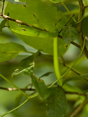 Long-nosed Whip Snake - Ahaetulla nasuta