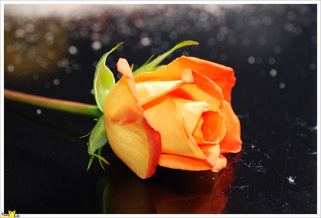 Orange rose the meaning of orange roses is desire for The meaning of orange roses