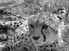 animal(1.0), snow leopard(1.0), cheetah(1.0), leopard(1.0), small to medium-sized cats(1.0), mammal(1.0), monochrome photography(1.0), fauna(1.0), close-up(1.0), monochrome(1.0), whiskers(1.0), black-and-white(1.0), wildlife(1.0),
