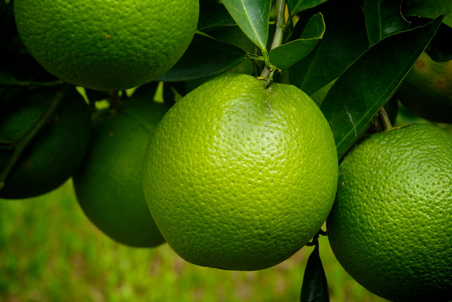Pictures of Green Oranges - #rock-cafe
