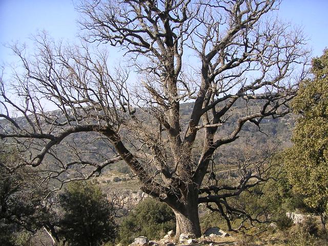 robles milenarios - barranc dels horts - ares del maestre - castellón