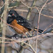 Spotted Towhees