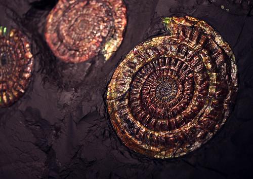 Psiloceras planorbis - Foto: Cobalt123 / Flickr.com