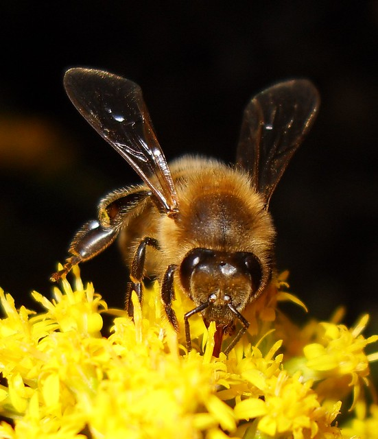 Honey Bee Face (Feeding With Tongue Out) #5 SDC18047 ...