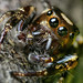 "Male ""Bronze Lake Jumper"" Jumping Spider - (Eris militaris )"