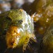 Small photo of Helicoverpa zea - writhe