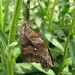 Small photo of American Snout Butterfly