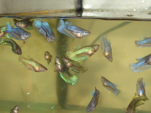 Female bettas sorority sisters fight too fish care for Baby betta fish care