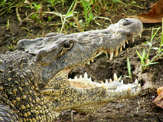 Crocodylus rhombifer. Cabeza