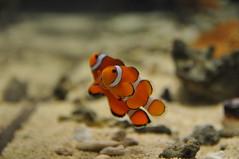 animal, anemone fish, fish, yellow, marine biology, invertebrate, macro photography, fauna, close-up, aquarium, wildlife,