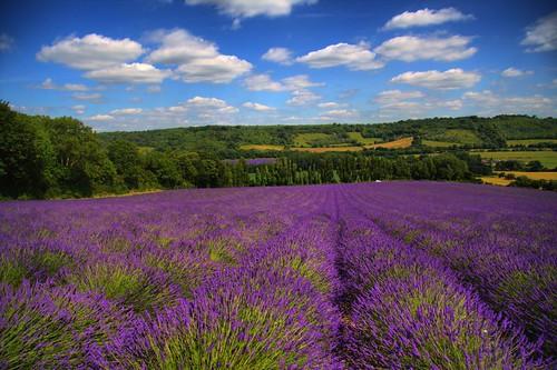 Texas romantic getaway to lavender fields blair house inn for Flower hill farms