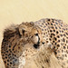 "Little ""C"" the cheetah by ivesmaria"
