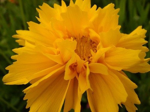yellow asteraceae coreopsis tickseed heliantheae earlysunrise